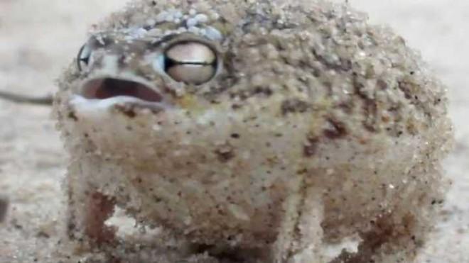Âm thanh gào thét giận dữ của loài ếch này đảm bảo sẽ khiến tất cả chúng ta cùng sợ - Ảnh 1.