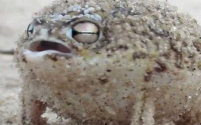 """Âm thanh gào thét giận dữ của loài ếch này đảm bảo sẽ khiến tất cả chúng ta cùng """"sợ"""""""