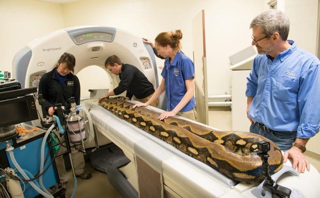 24h qua ảnh: Trăn khổng lồ được chụp cắt lớp kiểm tra sức khỏe