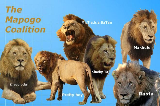 Trận chiến vương quyền: 4 sư tử đực bao vây hạ bệ vị vua già - Ảnh 2.
