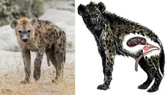 Từ sư tử cái, vịt cái đến loài cá vây chân: khi con cái mới là... phái mạnh - Ảnh 5.