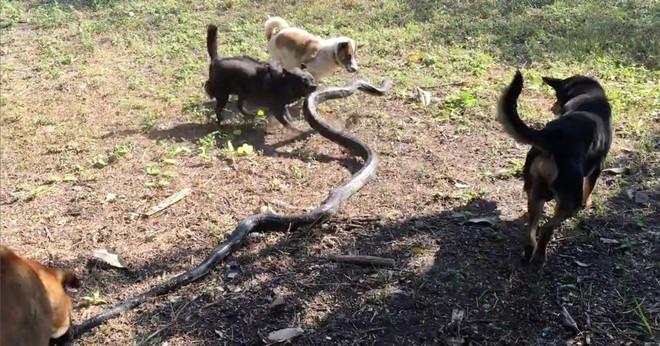 Không có khả năng kháng độc, bầy chó vẫn có cách khiến rắn hổ mang chúa thất điên bát đảo - Ảnh 4.