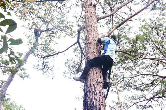 Xem cảnh người dân leo lên ngọn thông hái trái - Ảnh 2.
