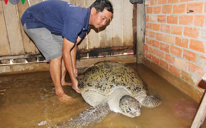 Người dân thả rùa nặng gần 200kg về biển được xem xét khen thưởng