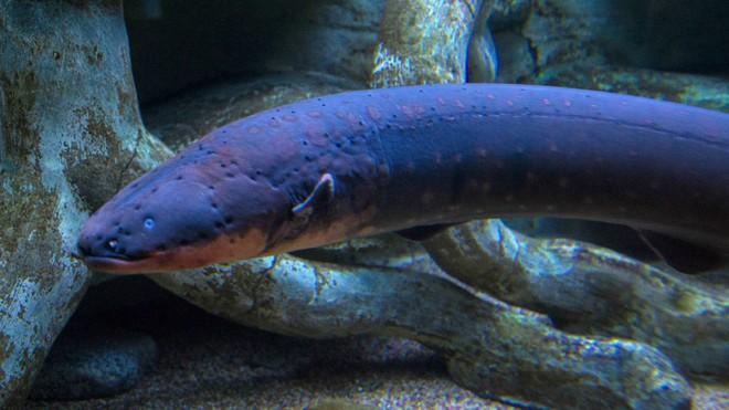 Phóng ra điện khiến cá sấu còn phải chạy, tại sao lươn điện không chết vì bị giật? - Ảnh 4.