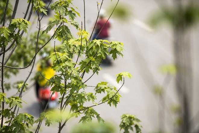 Cận cảnh hàng cây phong đỏ ở Hà Nội vào mùa trổ lá - Ảnh 3.