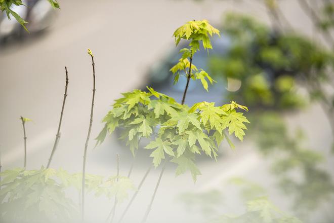 Cận cảnh hàng cây phong đỏ ở Hà Nội vào mùa trổ lá - Ảnh 8.