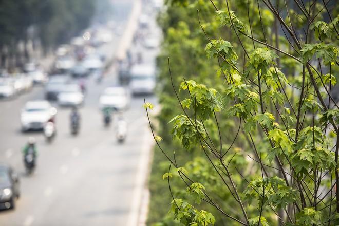 Cận cảnh hàng cây phong đỏ ở Hà Nội vào mùa trổ lá - Ảnh 2.
