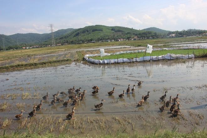Nông dân ở Bình Định phải đóng tiền mới được thả vịt ra đồng  - Ảnh 3.