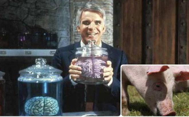 Giữ được não lợn sống sau khi bị chặt đầu, lần đầu tiên mở ra con đường giúp nhân loại bất tử