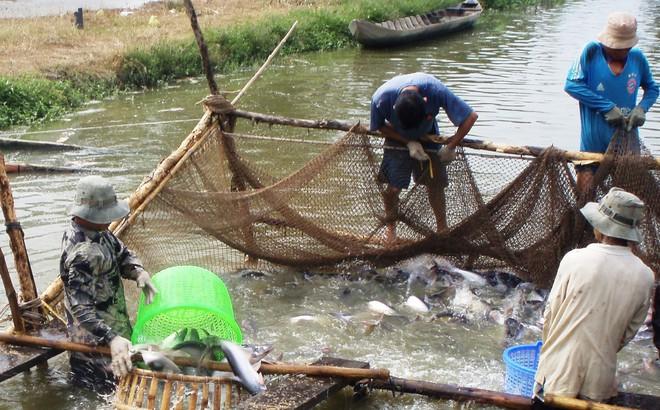 Thương lái mua cả cá tra... chết bán sang Trung Quốc