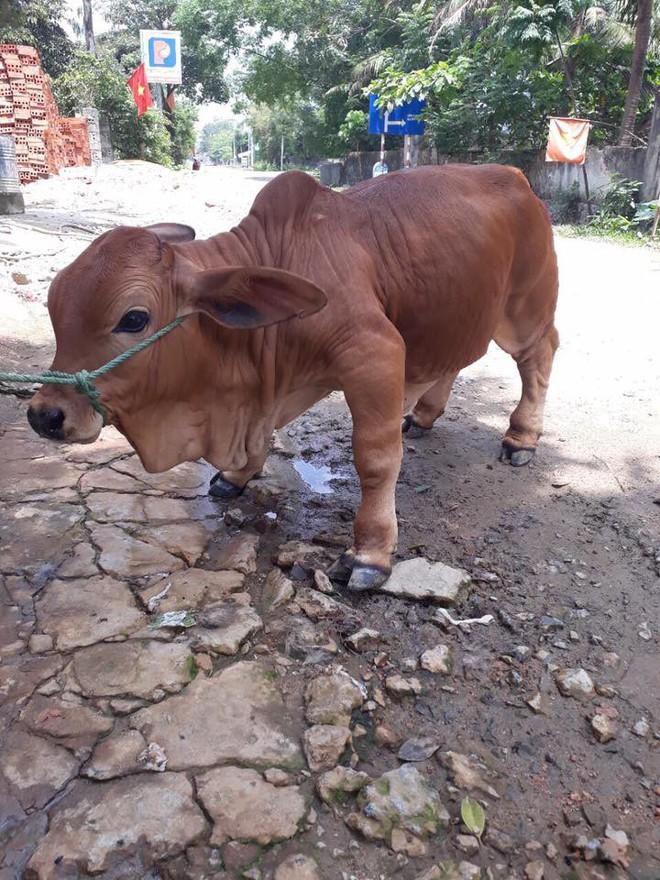 Chú bò chân ngắn khiến dân mạng thắc mắc sữa bò gấp đôi canxi để làm gì - Ảnh 2.