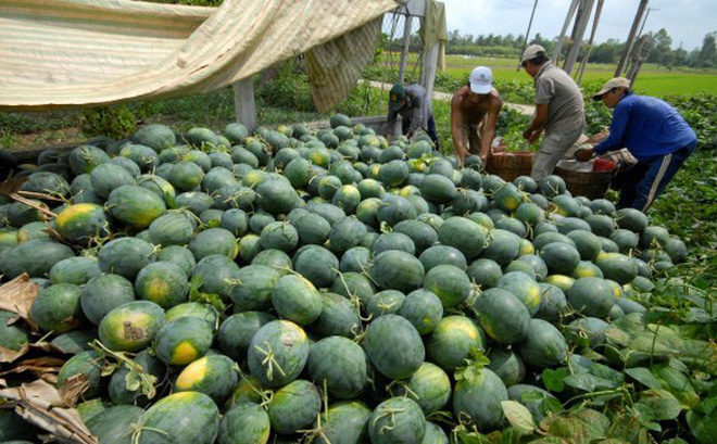 Nông dân bán dưa hấu 1.000 đồng/kg vẫn ế, vào siêu thị giá 20.000 đồng/kg