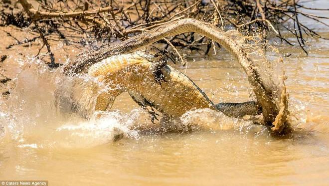 Sở hữu nọc độc chết người, rắn hổ bướm ác chiến cá sấu dưới hồ nước - Ảnh 6.
