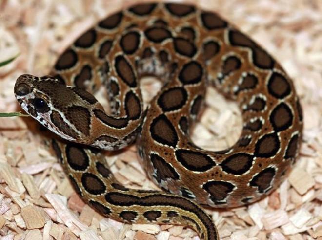 Sở hữu nọc độc chết người, rắn hổ bướm ác chiến cá sấu dưới hồ nước - Ảnh 1.