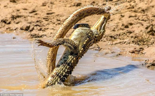 Sở hữu nọc độc chết người, rắn hổ bướm ác chiến cá sấu dưới hồ nước