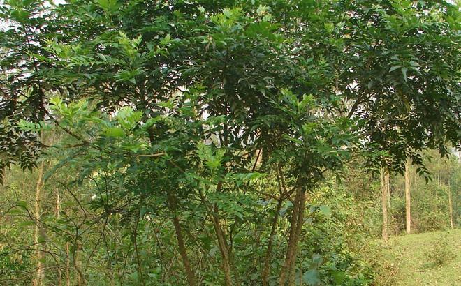 Cây Ưng bất bạc - vị thuốc quý cho lá gan