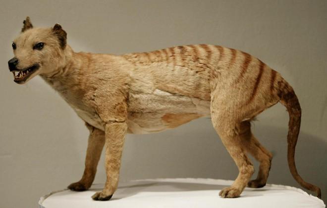 Loài hổ vằn có túi đã tuyệt chủng gần 100 năm trước phải chăng sắp được hồi sinh? - Ảnh 1.