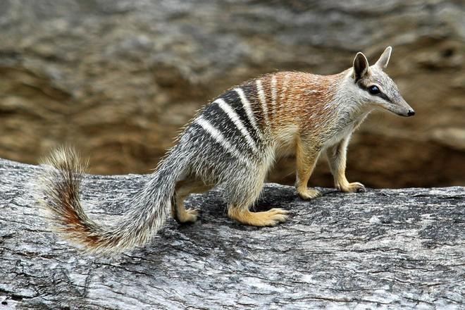 Loài hổ vằn có túi đã tuyệt chủng gần 100 năm trước phải chăng sắp được hồi sinh? - Ảnh 4.