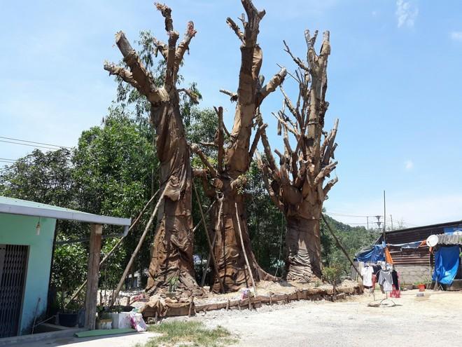 Chủ tịch UBND phường lo lắng 3 cây đa khổng lồ gây nguy hiểm cho người dân - Ảnh 2.