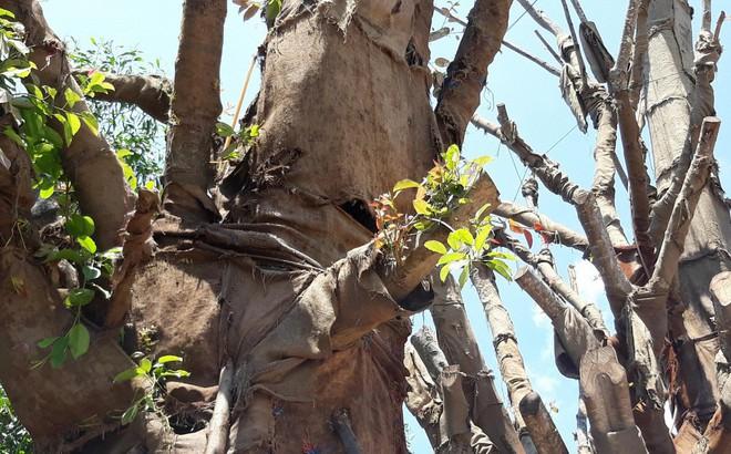 Chủ tịch UBND phường lo lắng 3 cây đa khổng lồ gây nguy hiểm cho người dân