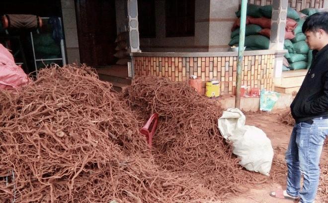 Thương lái săn lùng rễ cây tiêu bán cho Trung Quốc làm... thuốc