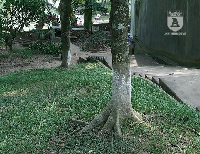Truy lùng những gốc sưa đỏ khủng bậc nhất Việt Nam - Ảnh 11.