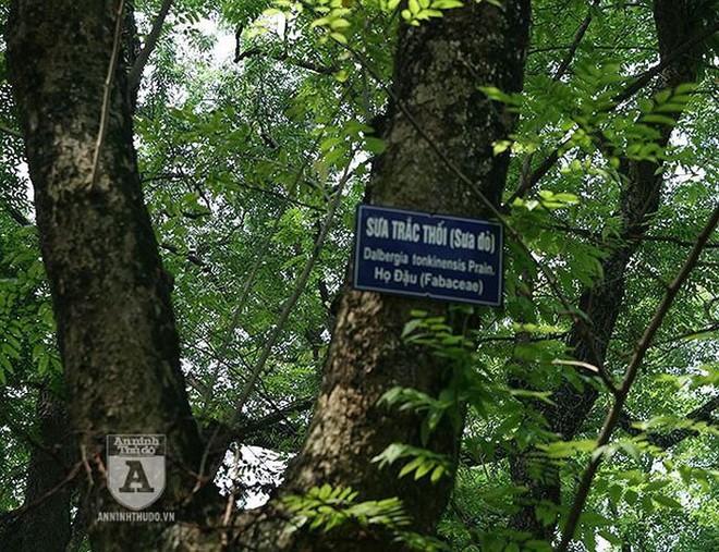 Truy lùng những gốc sưa đỏ khủng bậc nhất Việt Nam - Ảnh 7.