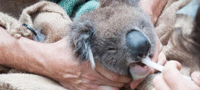 Chúng ta đã có cách cứu lấy loài gấu Koala, nhưng nó hơi kinh một chút - Ảnh 4.