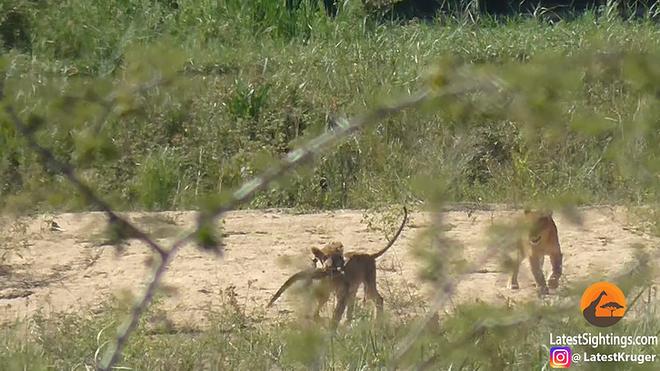 Non kinh nghiệm, sư tử bất ngờ bị trâu rừng tấn công, húc văng 2-3 vòng trên không - Ảnh 2.