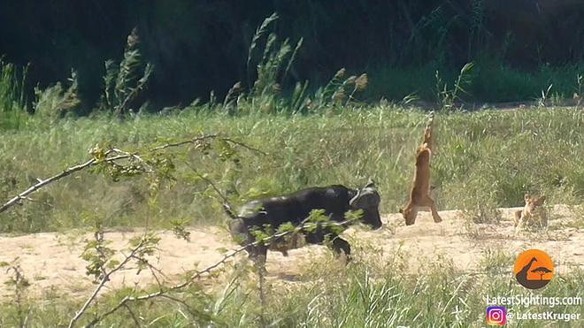 Non kinh nghiệm, sư tử bất ngờ bị trâu rừng tấn công, húc văng 2-3 vòng trên không - Ảnh 4.