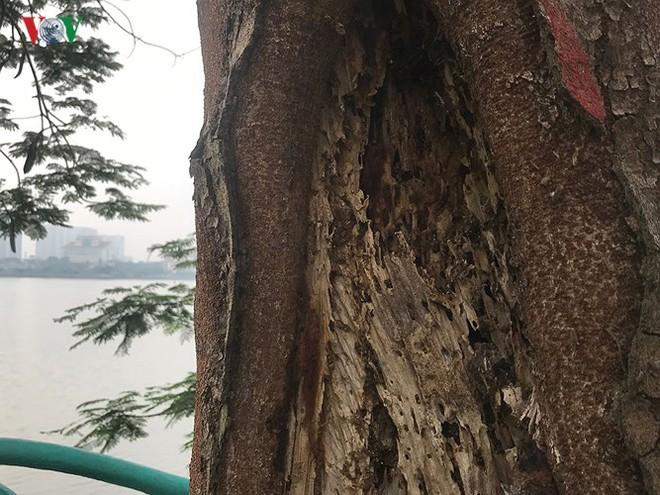 Hiểm họa từ cây xanh có nguy cơ gãy đổ trong mùa mưa bão - Ảnh 6.