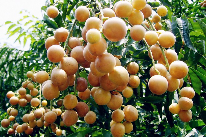 Quất hồng bì: Vua trái cây mùa hè được săn lùng vì sở hữu những chất dinh dưỡng hiếm có - Ảnh 4.
