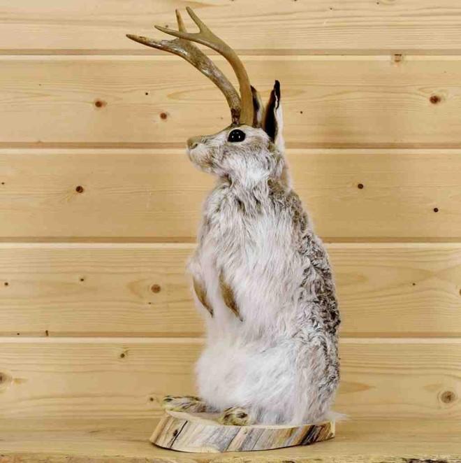 """Jackalope: Từ huyền thoại thỏ sừng nai trong truyện dân gian Mỹ đến những con thỏ """"quái vật"""" ngoài đời thực vì căn bệnh đáng sợ - Ảnh 2."""