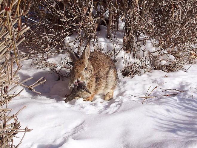 """Jackalope: Từ huyền thoại thỏ sừng nai trong truyện dân gian Mỹ đến những con thỏ """"quái vật"""" ngoài đời thực vì căn bệnh đáng sợ - Ảnh 6."""