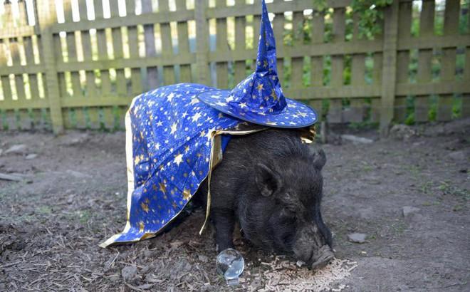 """Chú lợn tiên tri bị dọa """"lên thớt"""" vì dự báo sai về tuyển Anh"""