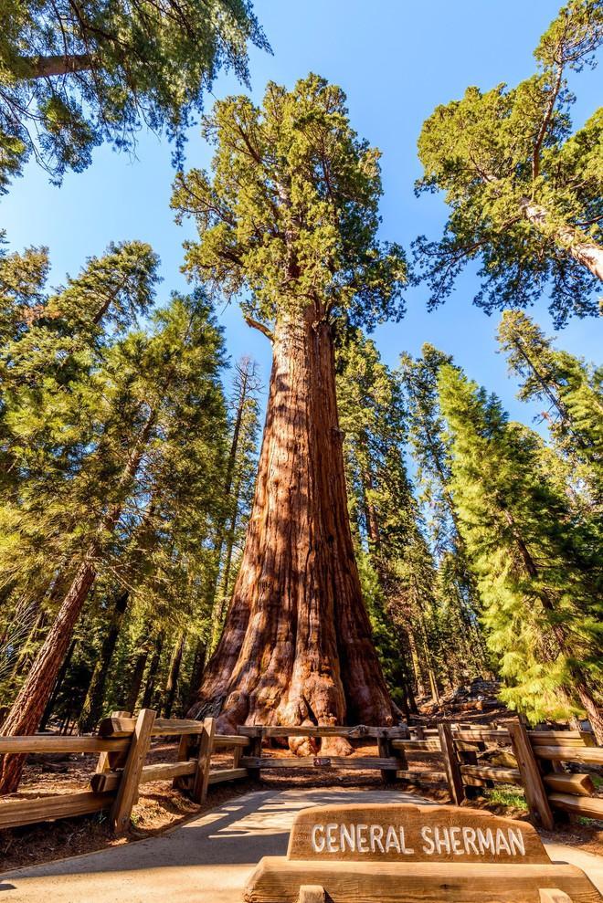 Bí mật của cây tùng bách lớn nhất hành tinh: Nặng 2000 tấn, tuổi đời 2000 năm - Ảnh 3.