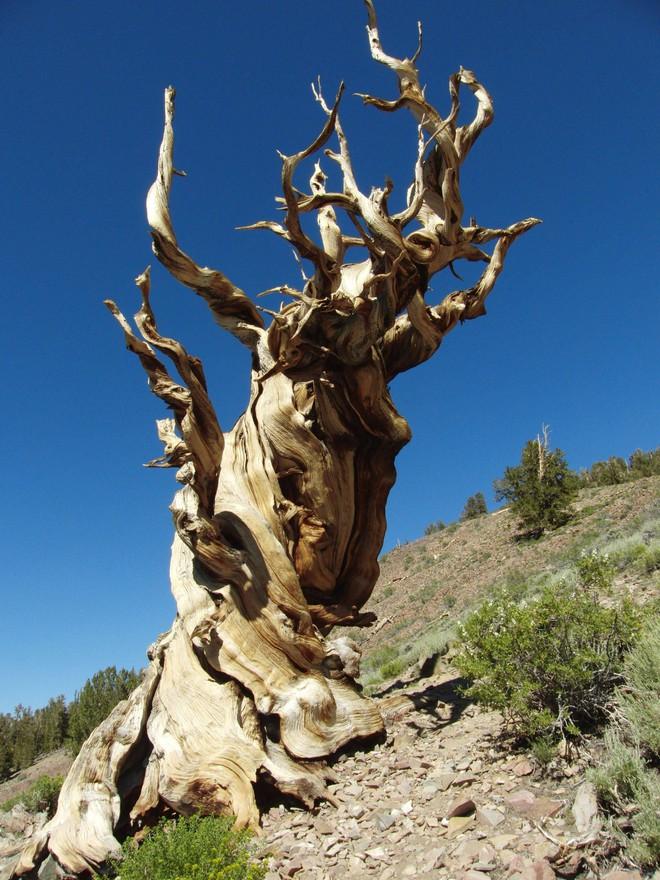 Bí mật của cây tùng bách lớn nhất hành tinh: Nặng 2000 tấn, tuổi đời 2000 năm - Ảnh 7.