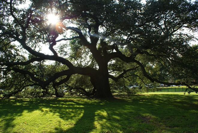 Bí mật của cây tùng bách lớn nhất hành tinh: Nặng 2000 tấn, tuổi đời 2000 năm - Ảnh 8.