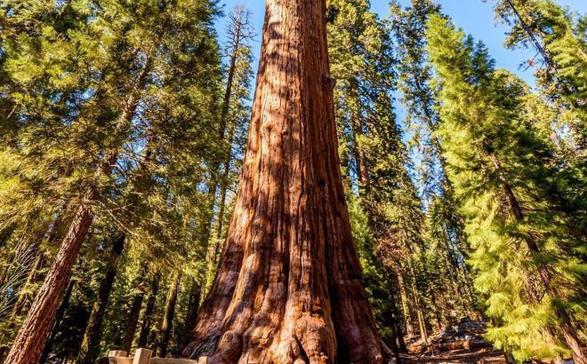 Bí mật của cây tùng bách lớn nhất hành tinh: Nặng 2000 tấn, tuổi đời 2000 năm