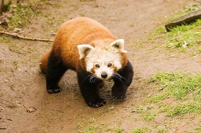 Biểu cảm Hăm doạ kẻ thù của loài gấu trúc đỏ làm chao đảo cộng đồng mạng vì dễ thương quá - Ảnh 1.