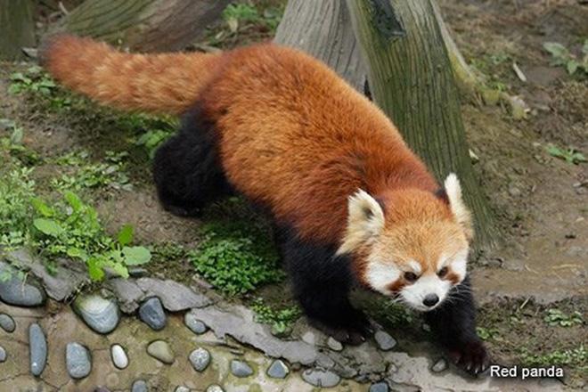 Biểu cảm Hăm doạ kẻ thù của loài gấu trúc đỏ làm chao đảo cộng đồng mạng vì dễ thương quá - Ảnh 2.