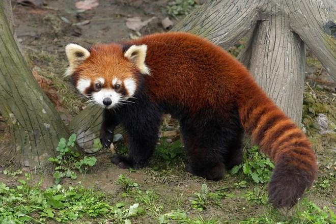 Biểu cảm Hăm doạ kẻ thù của loài gấu trúc đỏ làm chao đảo cộng đồng mạng vì dễ thương quá - Ảnh 3.