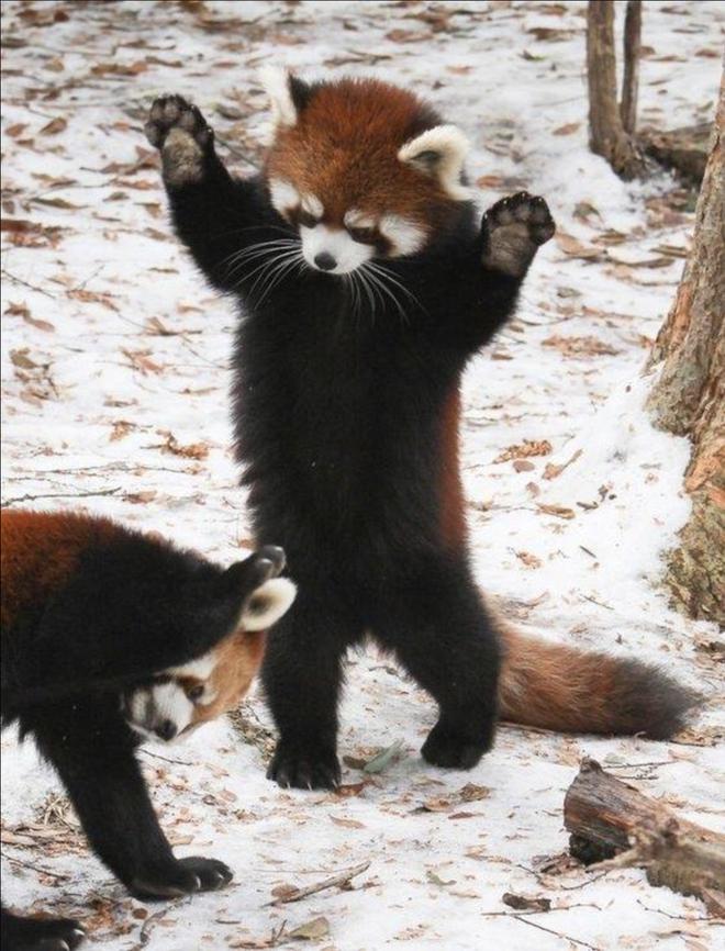 Biểu cảm Hăm doạ kẻ thù của loài gấu trúc đỏ làm chao đảo cộng đồng mạng vì dễ thương quá - Ảnh 4.