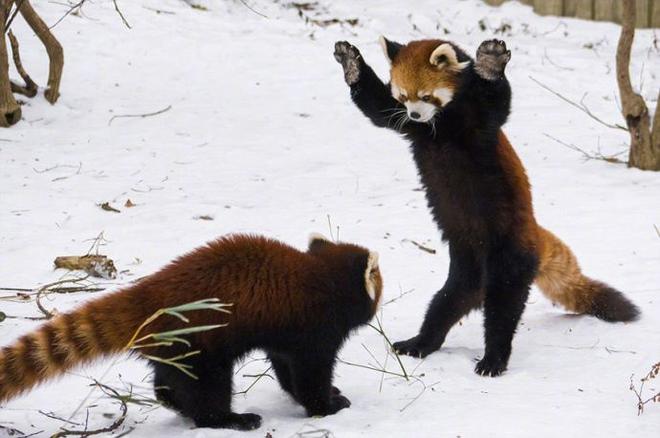 Biểu cảm Hăm doạ kẻ thù của loài gấu trúc đỏ làm chao đảo cộng đồng mạng vì dễ thương quá - Ảnh 5.