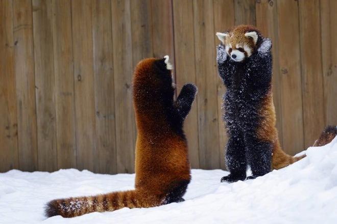 Biểu cảm Hăm doạ kẻ thù của loài gấu trúc đỏ làm chao đảo cộng đồng mạng vì dễ thương quá - Ảnh 6.