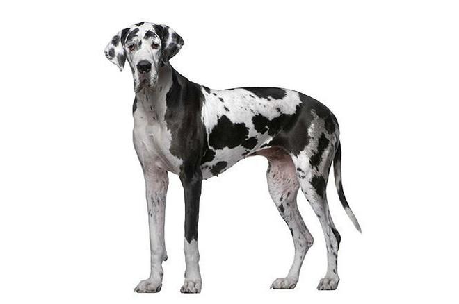 Top 10 giống chó có ngoại hình khủng nhất thế giới  - Ảnh 2.