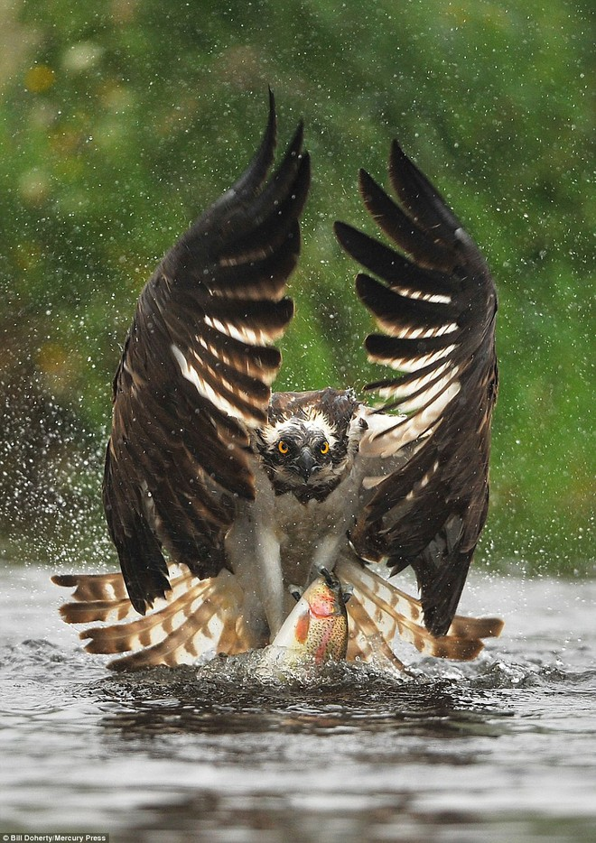 Khoảnh khắc nghẹt thở khi chim ưng biển phô diễn tài năng thiên bẩm của mình - Ảnh 1.