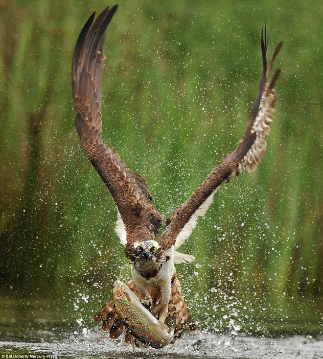 Khoảnh khắc nghẹt thở khi chim ưng biển phô diễn tài năng thiên bẩm của mình - Ảnh 3.
