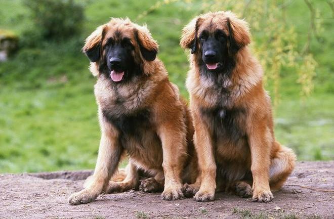 Top 10 giống chó có ngoại hình khủng nhất thế giới  - Ảnh 6.